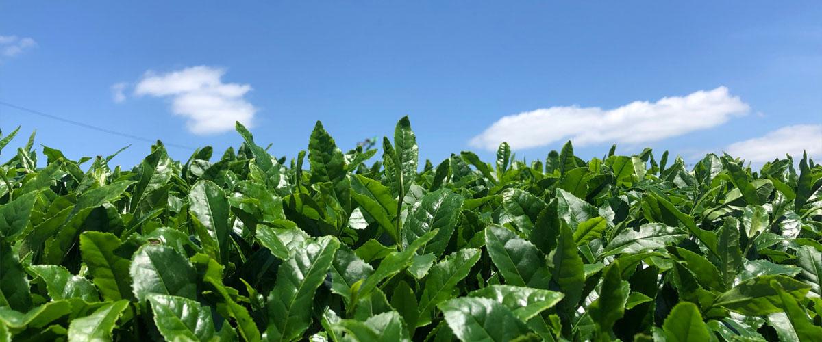 鈴鹿の青空に映える、摘採を待つ茶の葉たち。2020年の新茶収穫作業が始まっています!